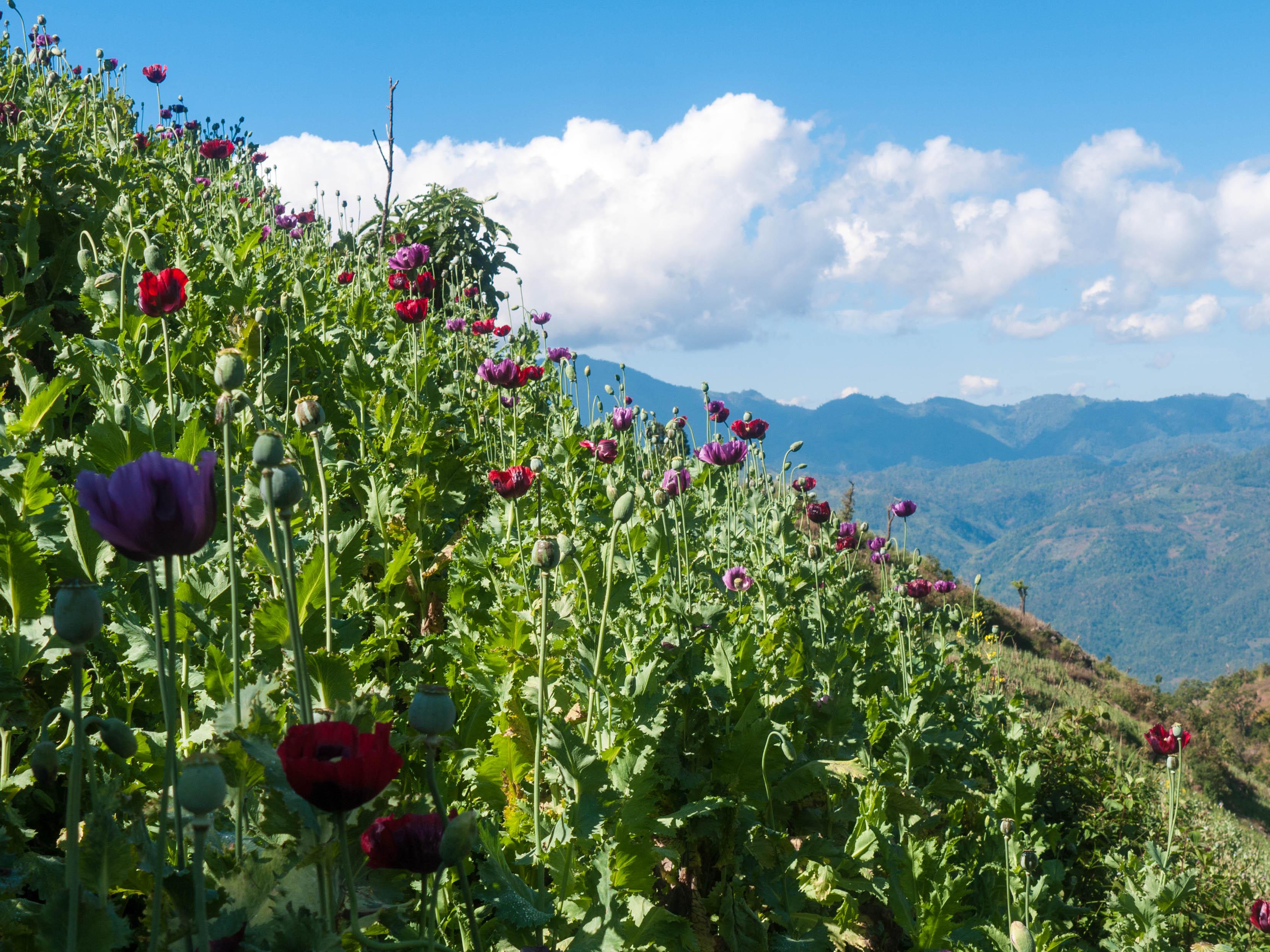 Poppy: een plantje met veel politieke invloed